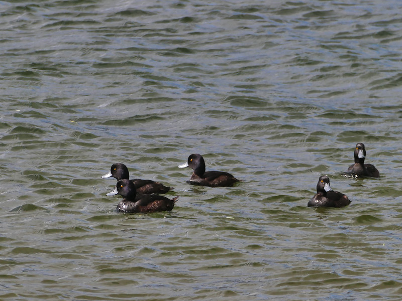 NZ Scaup / papango