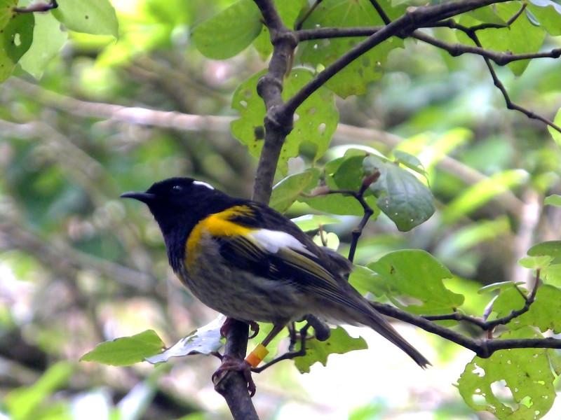 Stitchbird / hihi