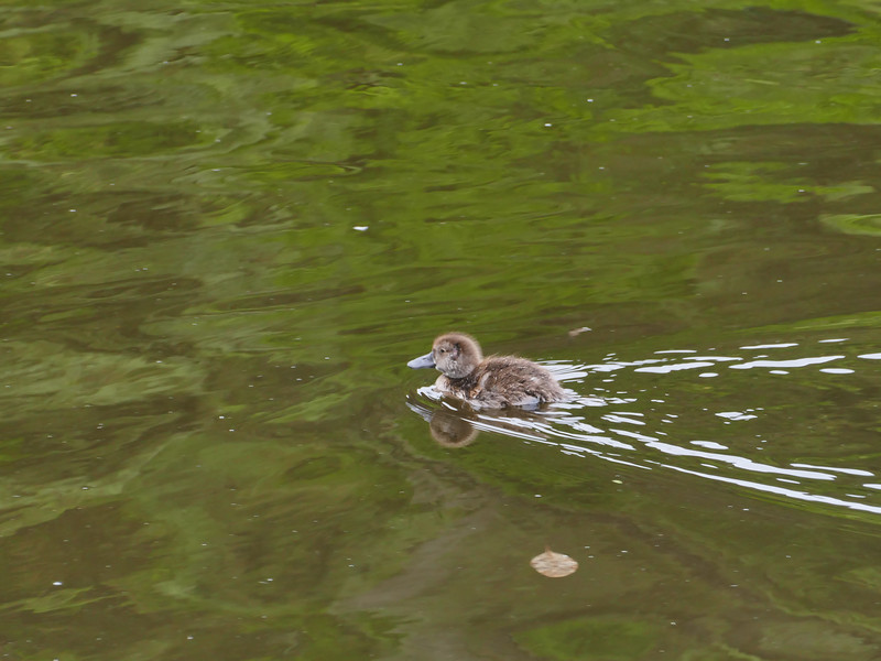 Pateke duckling