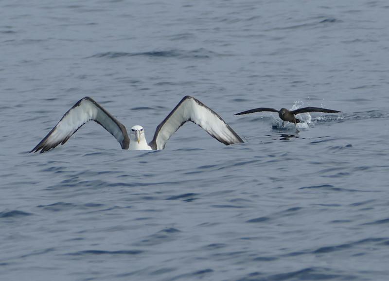 White-capped albatross & Sooty shearwater / titi