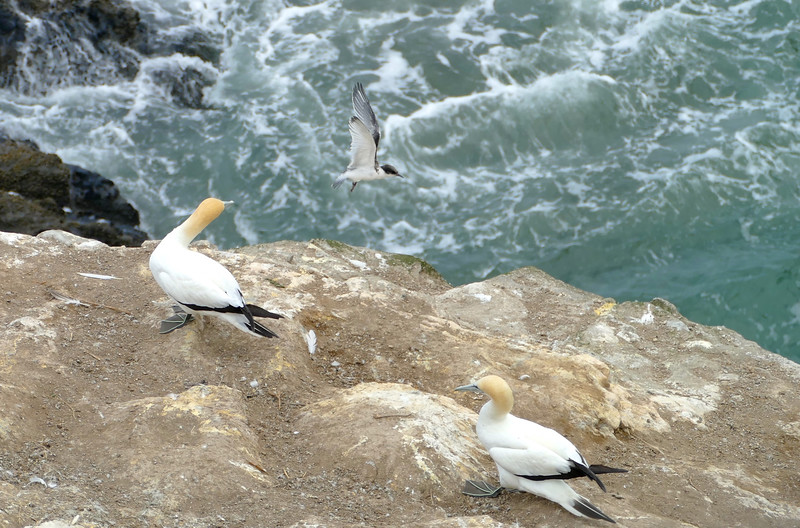 Gannets & White-fronted tern