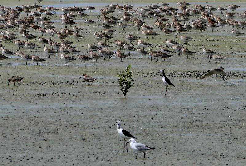 Bar-tailed godwit, Pied stilt, Red-billed gull