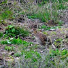 Bobwhite quail (female)