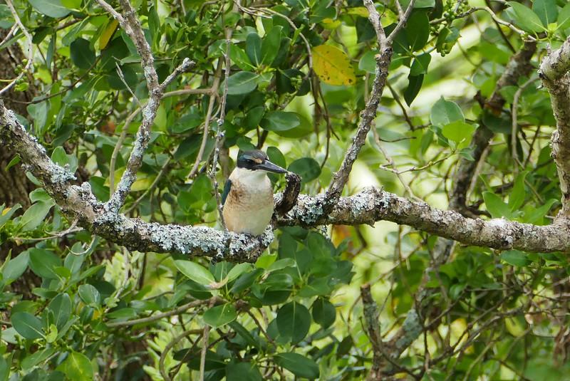 NZ kingfisher