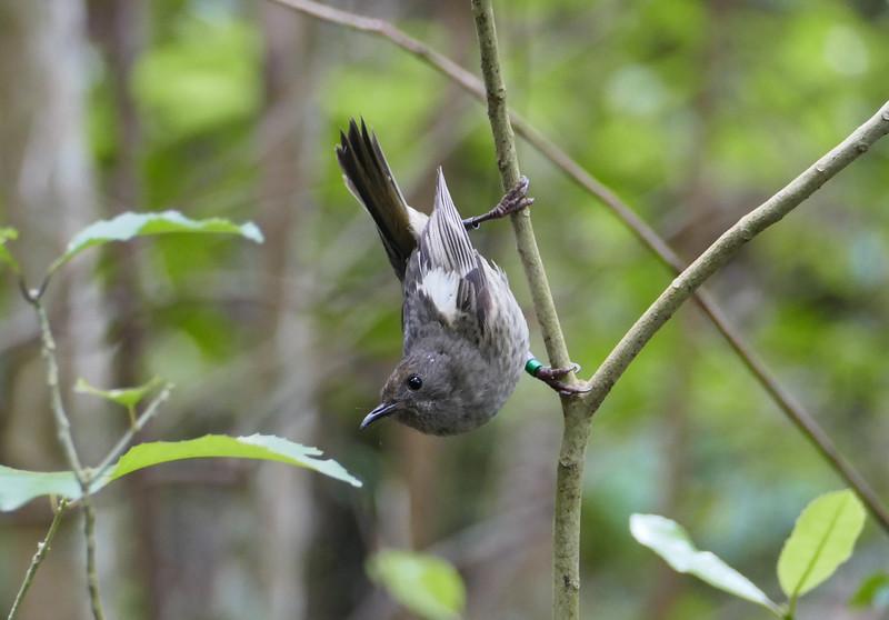 Stichbird / hihi (female)
