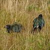 Takahe & chick