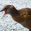 Western weka at Arthur's Pass