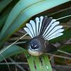 NZ fantail, North Island / piwakawaka