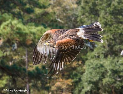 Low Country Birds of Prey