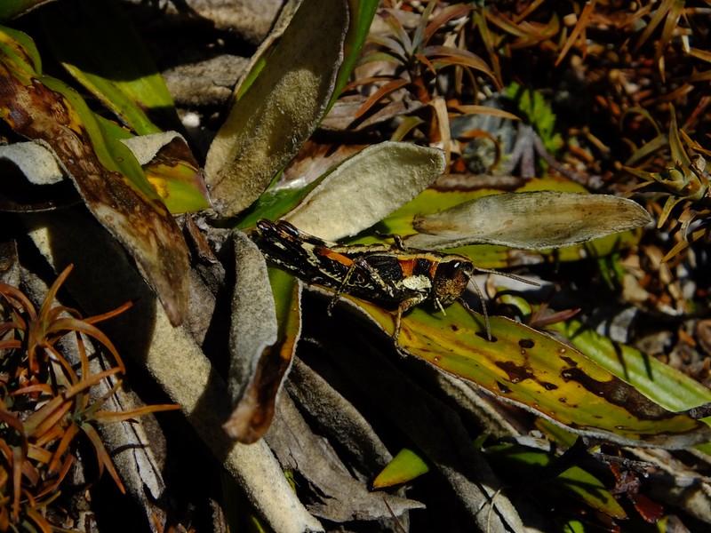Alpine Grasshopper