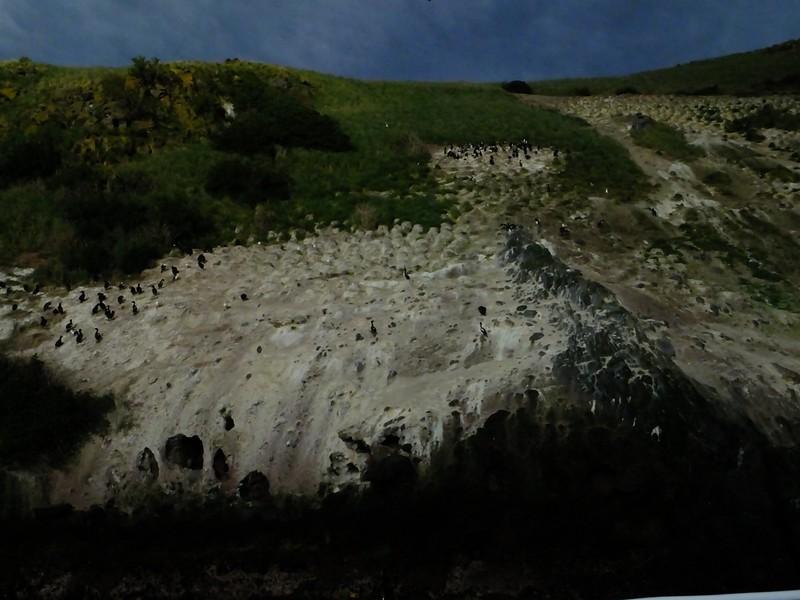 Stewart Island Shag colony