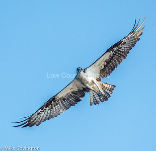 A lot of Ospreys along the river near Sandy Island, SC