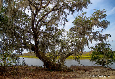 Oak Tree on SAndy Island