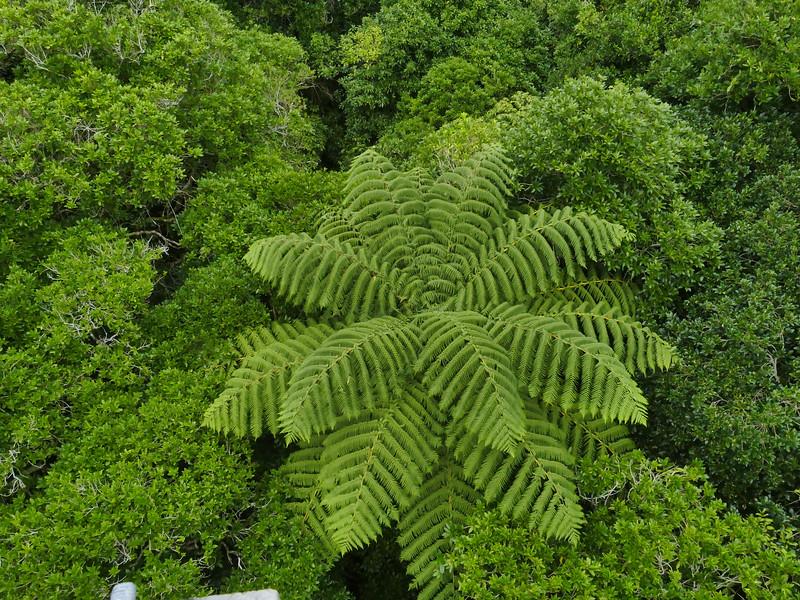 Tree fern, Zealandia
