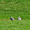 Cape Barren geese, Riverbridge Reserve, Mid Canterbury