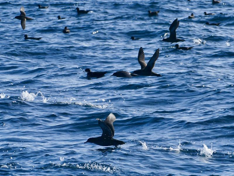 Sooty shearwater, Stewart Island