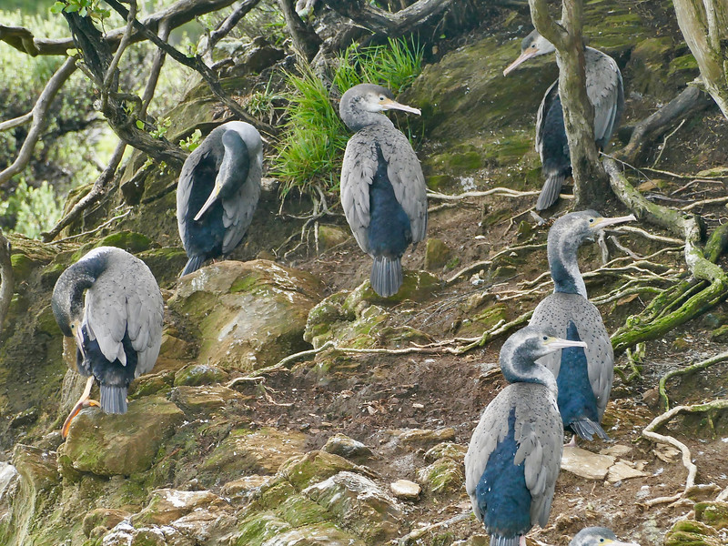 Spotted Shag, Queen Charlotte Sound