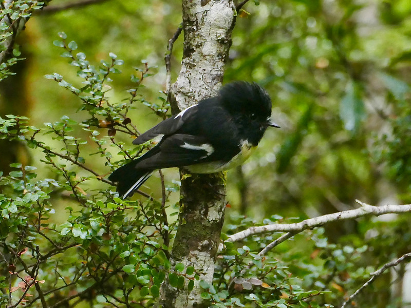 Tomtit (male), Arthur's Pass National Park