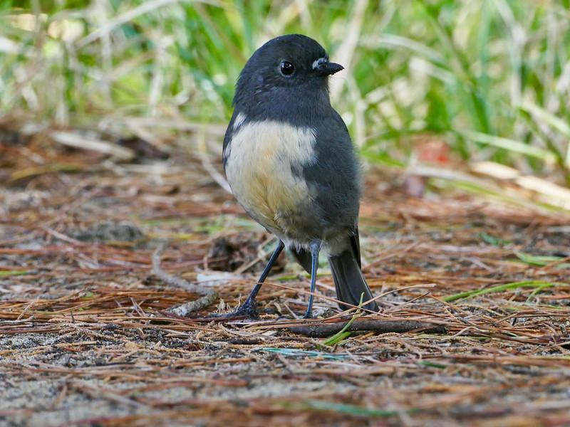Stewart Island robin, Stewart Island