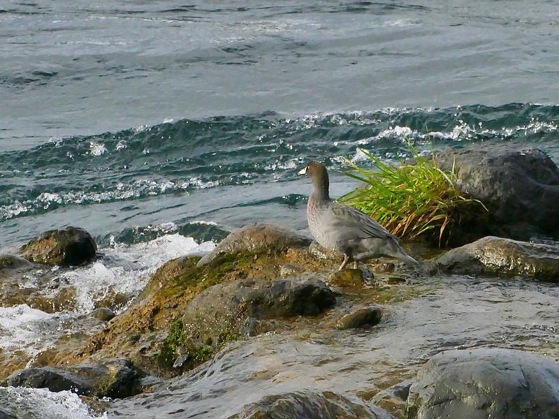Whio / blue duck, Tongariro River
