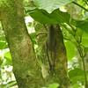 Wetapunga, (female)  Tiritiri Matangi