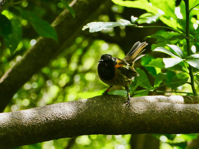 Stitchbird / Hihi, Tiritiri Matangi