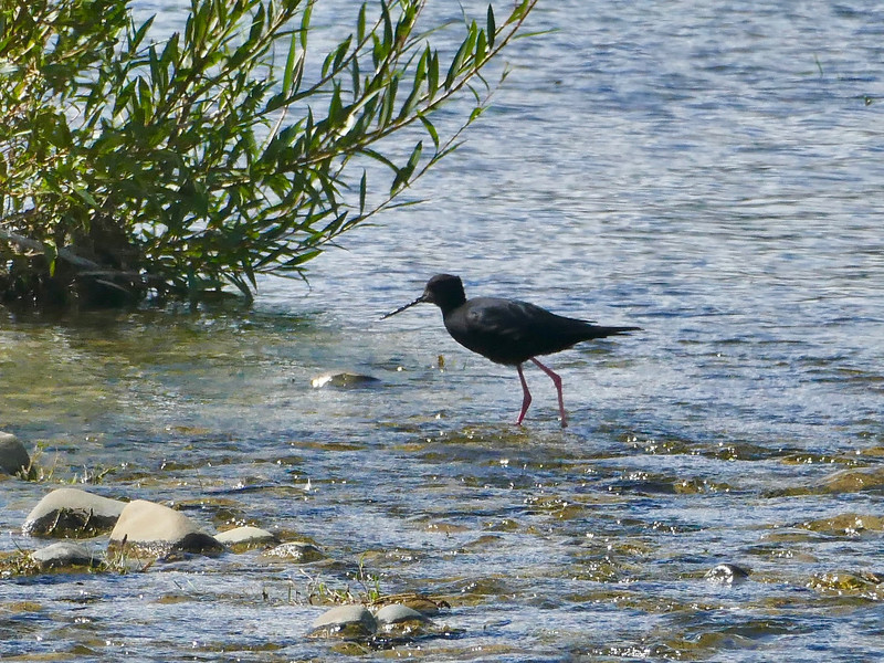 Kaki / black stilt, Tasman River Delta