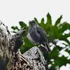 North Island Robin / Toutouwai, Zealandia