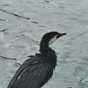 Little shag, Picton