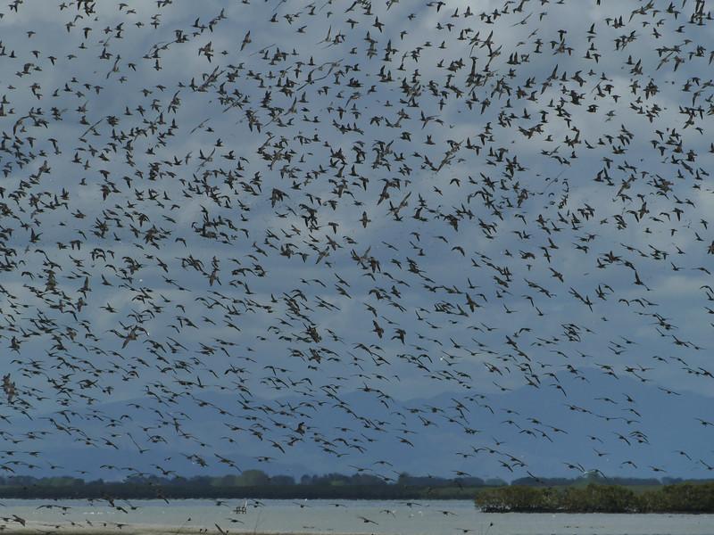 A flock (heaven?) of Bar-tailed Godwits, Miranda