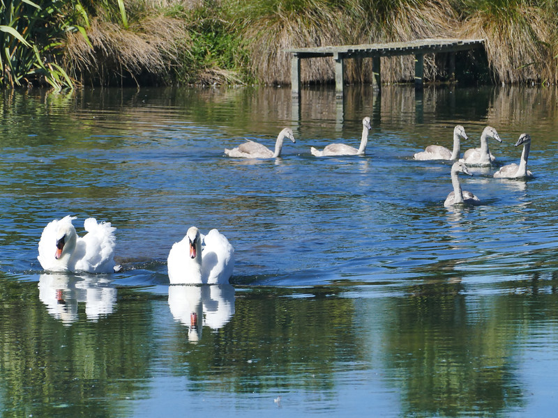 Mute swan, Riverbridge Reserve, Mid Canterbury