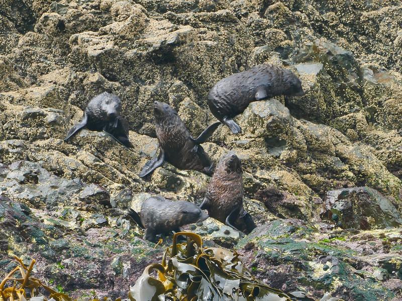 Immature N.Z. fur seals, Barney's Rock, Kaikoura