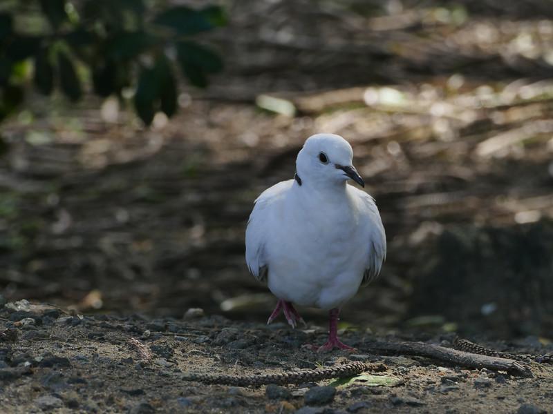 Barbary Dove, Muriwai