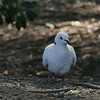 Barbary Dove, Muriwai