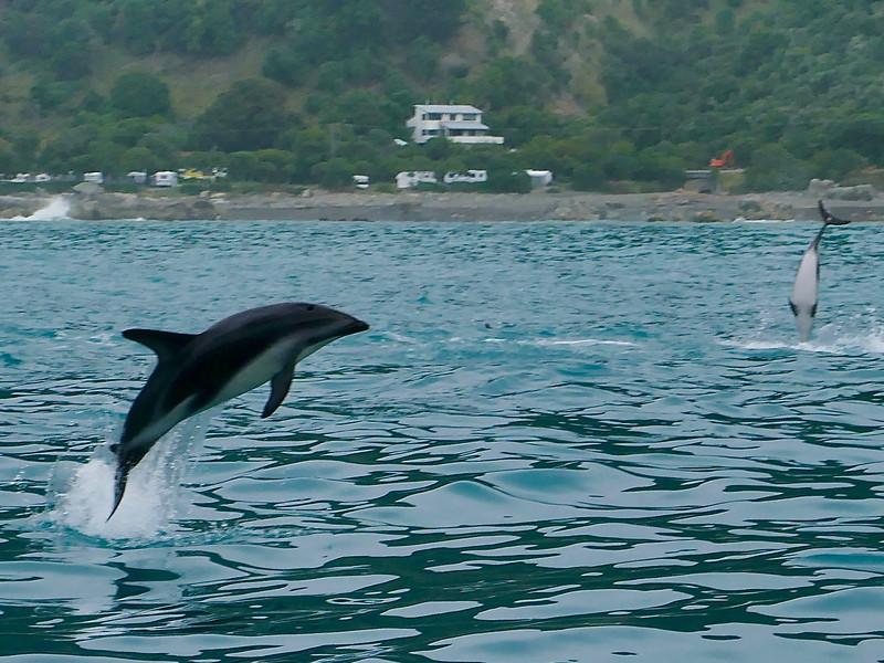 Dolphins, Kaikoura coast