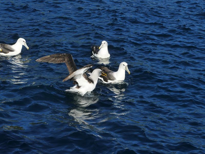 Buller's and White-capped albatross,