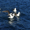 Buller's and White-capped albatross,