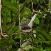 Pied fantail, Stewart Island