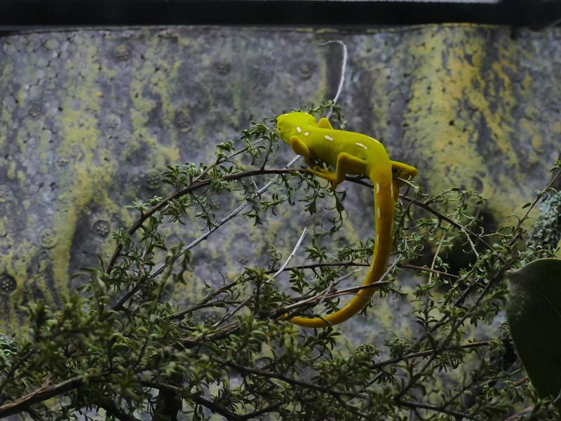 Gecko, Zealandia