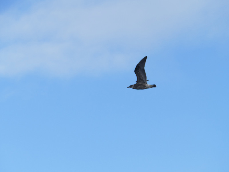 Brown skua, Stewart Island