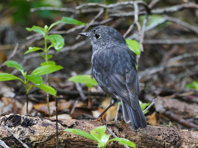 North Island Robin, Tiritiri Matangi