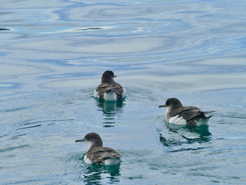Fluttering shearwater, Queen Charlotte Sound