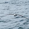White-capped albatross, Stewart Island