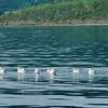 Gannets, Queen Charlottte Sound