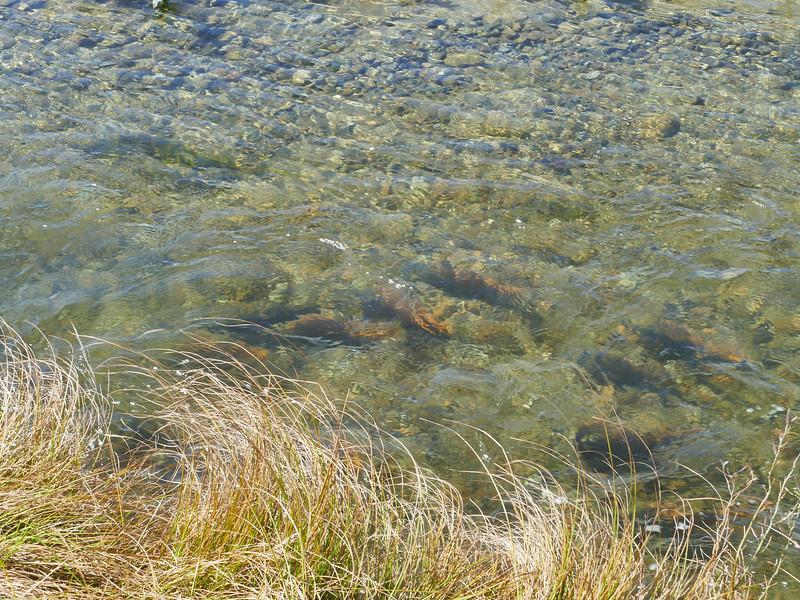 Rainbow trout, Tasman River