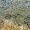 Rainbow trout, Tasman River
