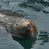 N.Z. fur seal