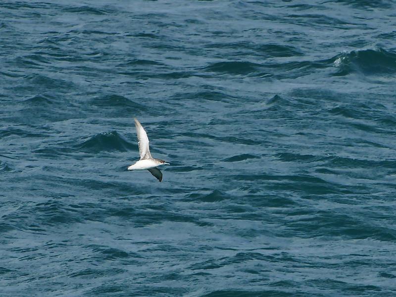 Fluttering Shearwater, Hauraki Gulf