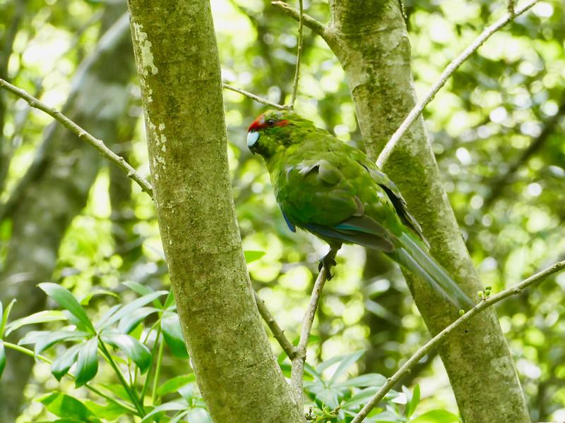 Red-crowned Parakeet, Tiritiri Matangi