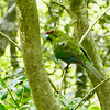 Red-crowned Parakeet, Tiritiri Matangi